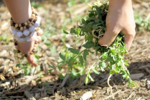 University of Utah student's hands pulling weeds in the Edible Campus Gardens