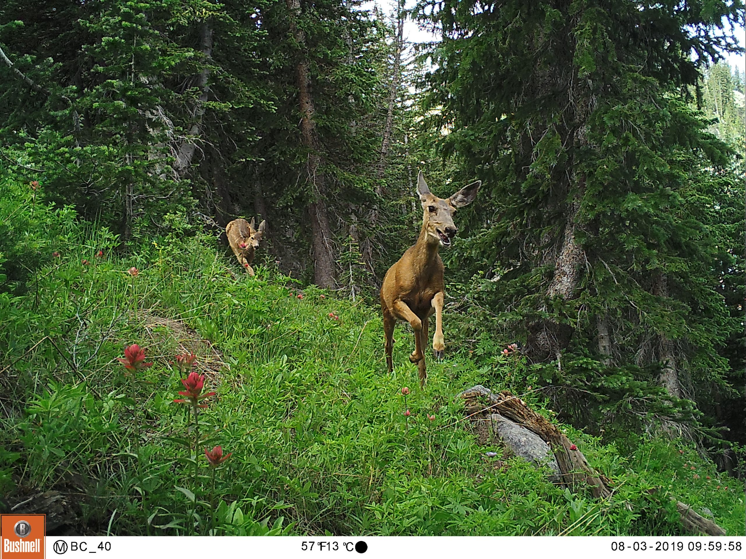 Deer captured on camera in the urban interface at the edge of the Wasatch Mountains